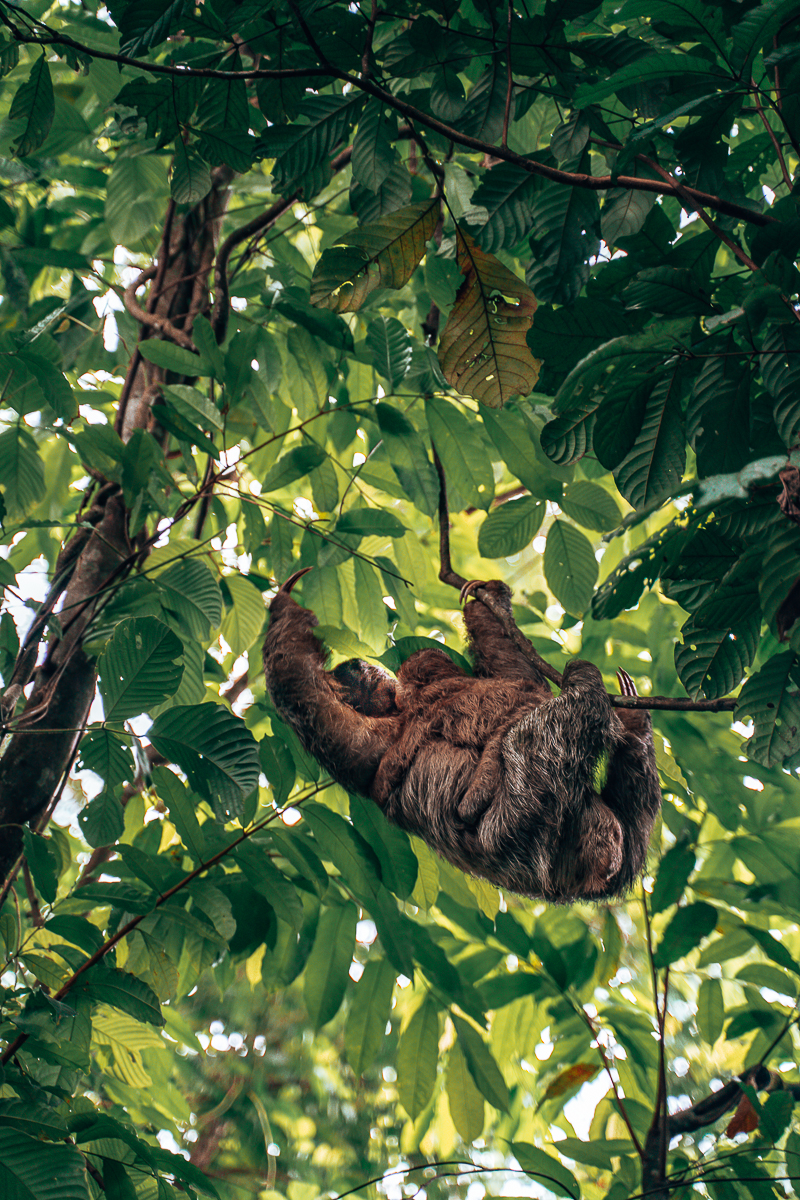 Sloths hanging Costa Rica